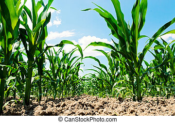 Corn field - Field of the young corn from low angle