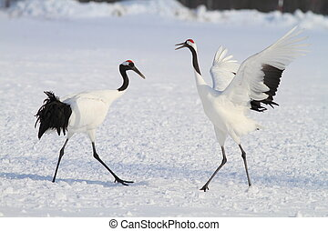 Japanese crane or Red-crowned Crane Grus japonensis in...