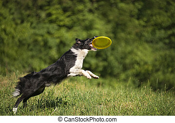 border collie - Border collie dog catching the frisbee on...