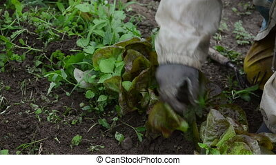 green lettuce weed - senior woman with a stain gloves grub...