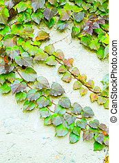 Green ivy Parthenocissus tricuspidata Veitchii on the old...