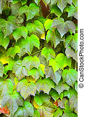 Green ivy Parthenocissus tricuspidata close up as background