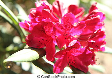 Rhododendron blooming in a park