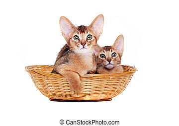 two abyssinian kitties sitting in a basket isolated on white...