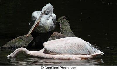Dalmatian Pelican-Pelecanus crispus-fishing in the water
