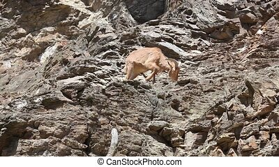 Lonely Barbary Sheep on steep rock - Lonely Barbary Sheep...