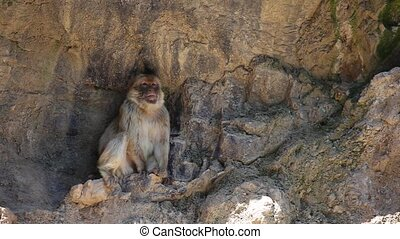 Lonely Barbary Macaque Macaca sylvanus on a steep rock