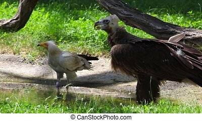 Cinereous Vulture ,Egyptian Vulture - Cinereous Vulture and...