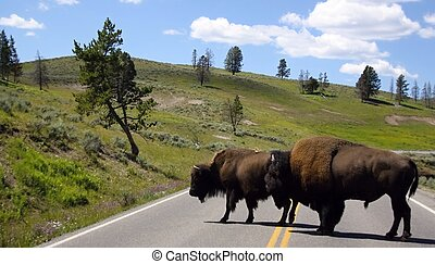dos, bisons, ruta, Yellowstone, nacional, parque