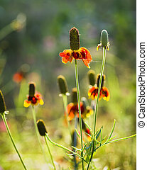 Mexican Hat Coneflowers growing wild in rural Texas