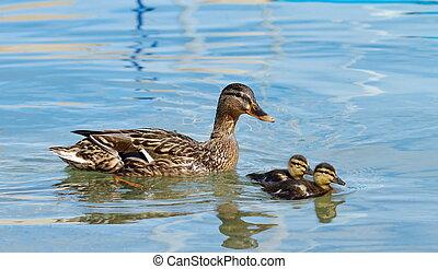 Mallard or wild duck (anas platyrhynchos) and baby