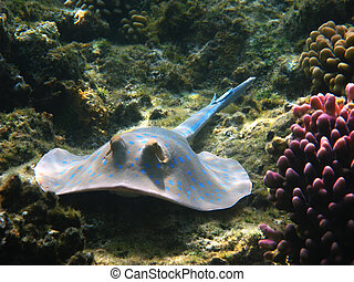 Blue-spotted stingray, Marsa Alam - Blue-spotted stingray...
