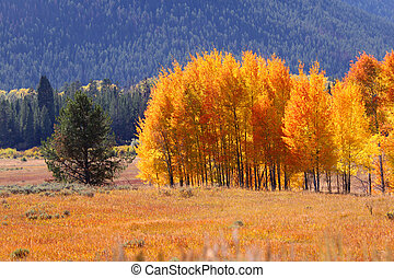 Autumn in Yellowstone - Bright autumn trees in Yellowstone...