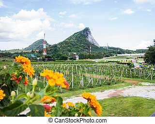 Wine country vineyard - Vineyards on the Hills of thailand...