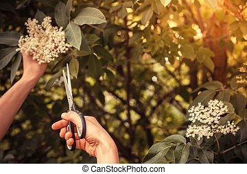 Young woman cutting elderflower with scissors - A young...