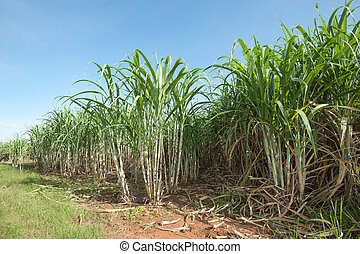 Sugar cane field in Thailand