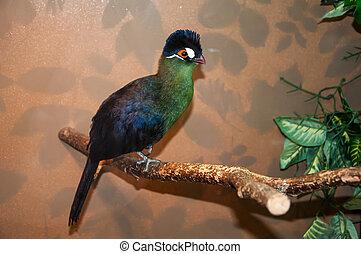 Hartlaubi turaco - Tauraco hartlaubi species of bird endemic...