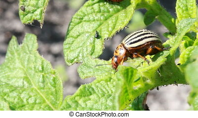 Colorado beetle - Colorado potato beetle, potato farm