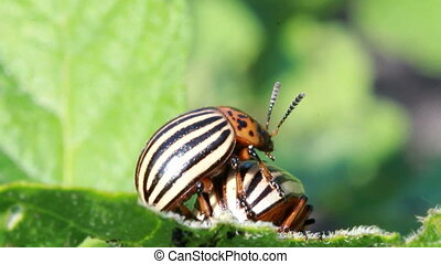 Colorado beetle - Colorado potato beetle, potato  farm.