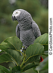 African grey parrot in a tree - African Grey Parrot...