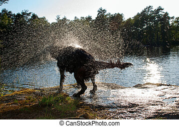 Shaking Dog - A Dogs Shaking Off Water after a Bath in the...