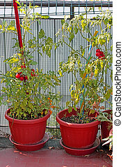red tomato plants grown in the garden terrace town home