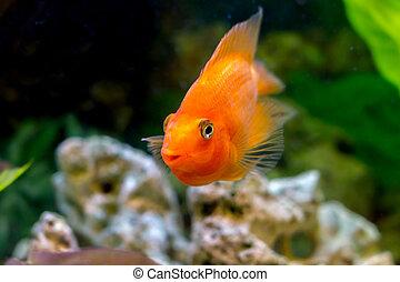 beautiful aquarium decorative orange parrot fish - mage of a...