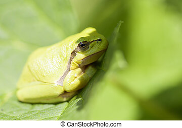 European tree frog - macro shot - European tree frog - Hyla...