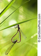 Large red damselfly - mating - Large red damselfly in mating...