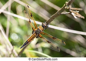 Four-spotted Chaser - Libellula quadrimaculata in a macro...