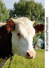 portret, biały, brązowy, krowa, pasza