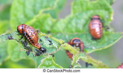 Colorado beetle larvae - Colorado potato beetle larvae, farm...