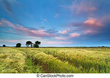 sunset over wheat field in summer