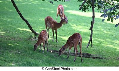 Large herd of Antelope Sitatunga