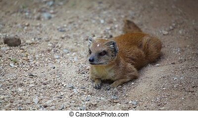 Yellow mongoose  in the sand