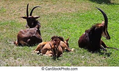 Group of Sable Antelopes - Group of young and old Sable...