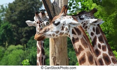 The herd of Rothschild Giraffe - The herd of three...