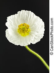 White poppy on black background - Close up of white...