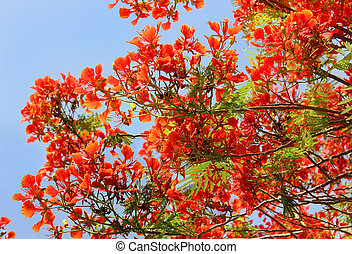 tree red acacia - flowering tree red acacia as a natural...