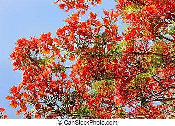 árvore, vermelho, Acácia