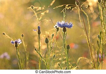 Cornflower in the field backlit by the setting sun