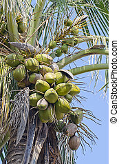coconuts on the palm tree