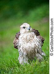 falcon on green grass