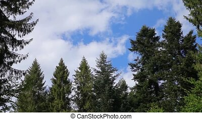Beautiful clouds in a pine forest