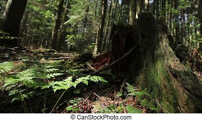 Ferns and Stump in the Forest. Dolly shot.
