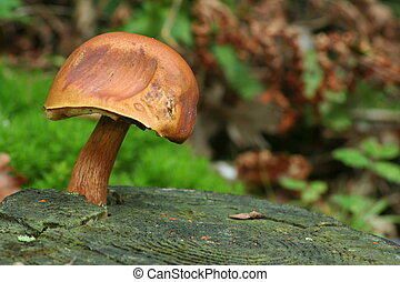 Bay Bolete - boletus badius - Eatable mushroom from german...