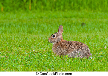 Cottontail Rabbit sitting in the grass looking left.