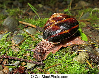 Pacific Sideband Snail - Monadenia fidelis - A Pacific...