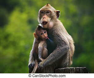 monkey mother and baby drinking milk from breast and playing...