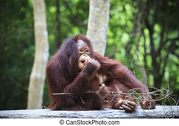 indonesia orangutan with nature blurry background use for...